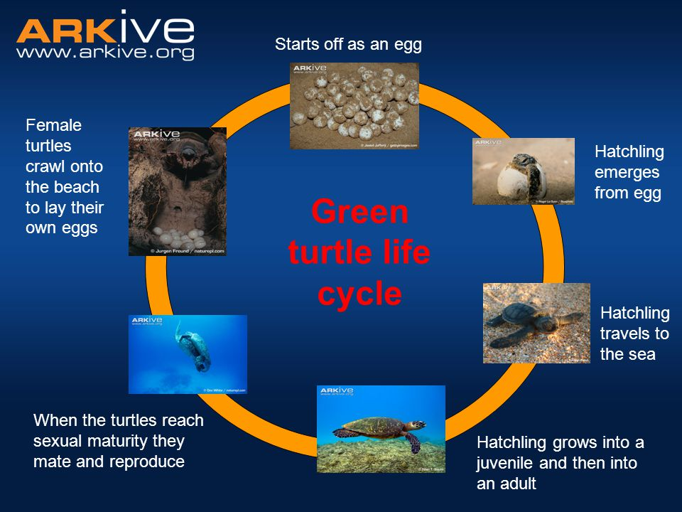 Starts off as an egg Hatchling travels to the sea Hatchling grows into a juvenile and then into an adult When the turtles reach sexual maturity they m
