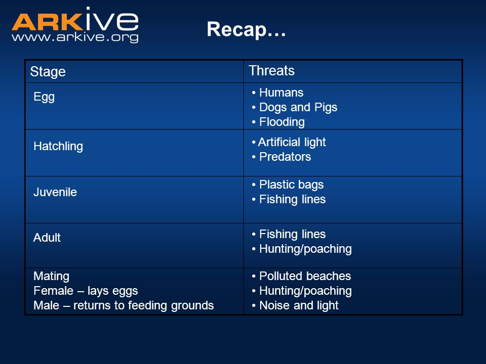 Stage Threats Recap… Egg Juvenile Adult Mating Female – lays eggs Male – returns to feeding grounds Hatchling Humans Dogs and Pigs Flooding Artificial