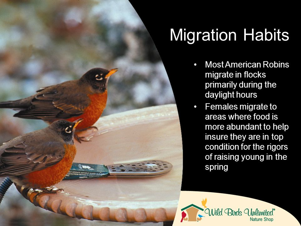 Most American Robins migrate in flocks primarily during the daylight hours Females migrate to areas where food is more abundant to help insure they are in top condition for the rigors of raising young in the spring Migration Habits