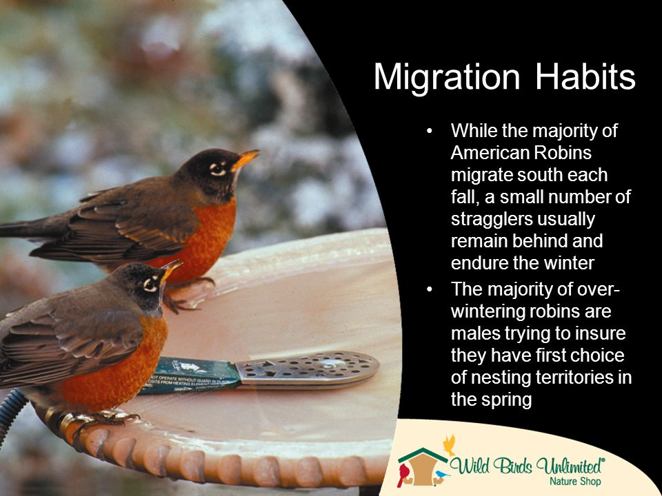 While the majority of American Robins migrate south each fall, a small number of stragglers usually remain behind and endure the winter The majority of over- wintering robins are males trying to insure they have first choice of nesting territories in the spring Migration Habits