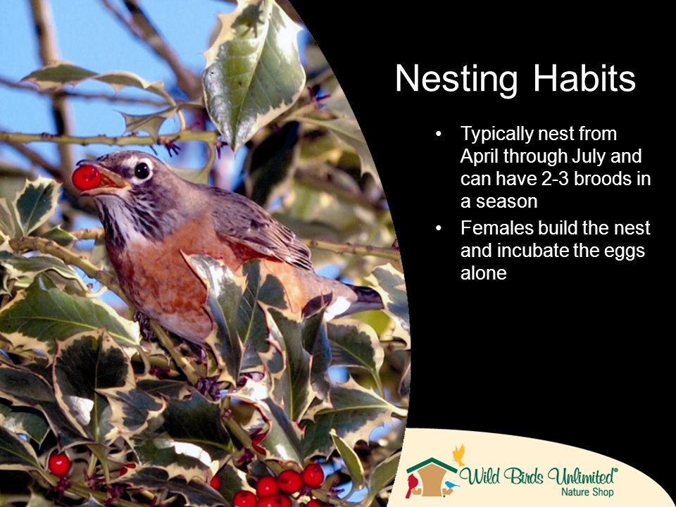 Typically nest from April through July and can have 2-3 broods in a season Females build the nest and incubate the eggs alone Nesting Habits