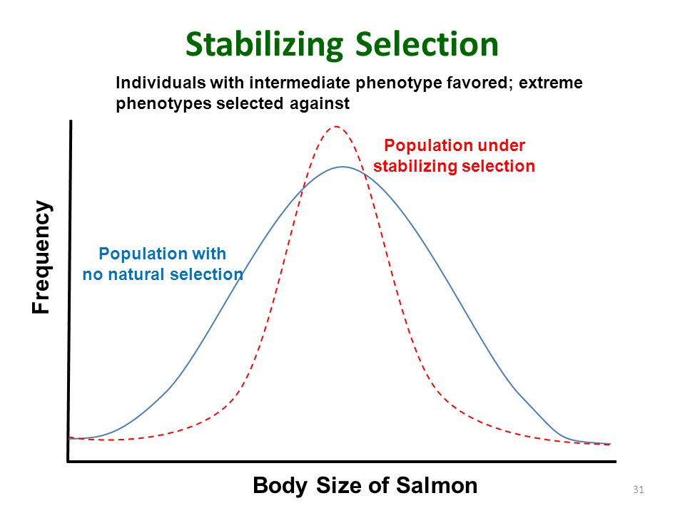 Stabilizing Selection 31 Population with no natural selection Population under stabilizing selection Body Size of Salmon Frequency Individuals with in