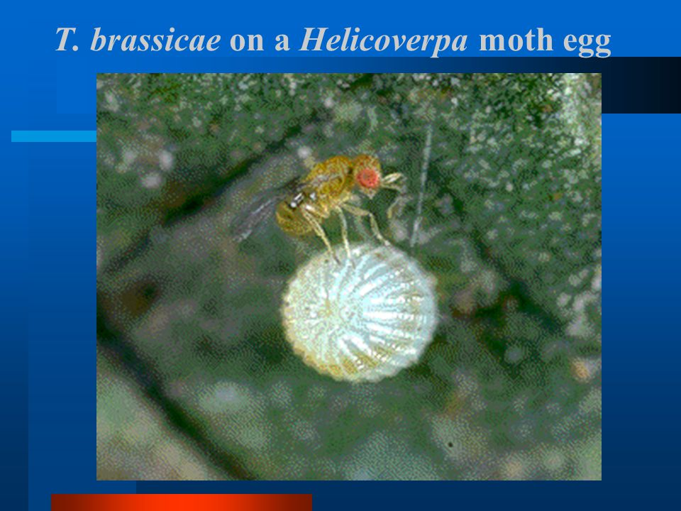 T. brassicae on a Helicoverpa moth egg