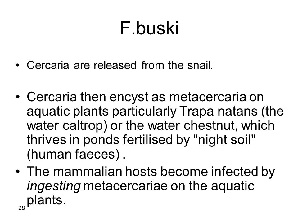28 F.buski Cercaria are released from the snail. Cercaria then encyst as metacercaria on aquatic plants particularly Trapa natans (the water caltrop)