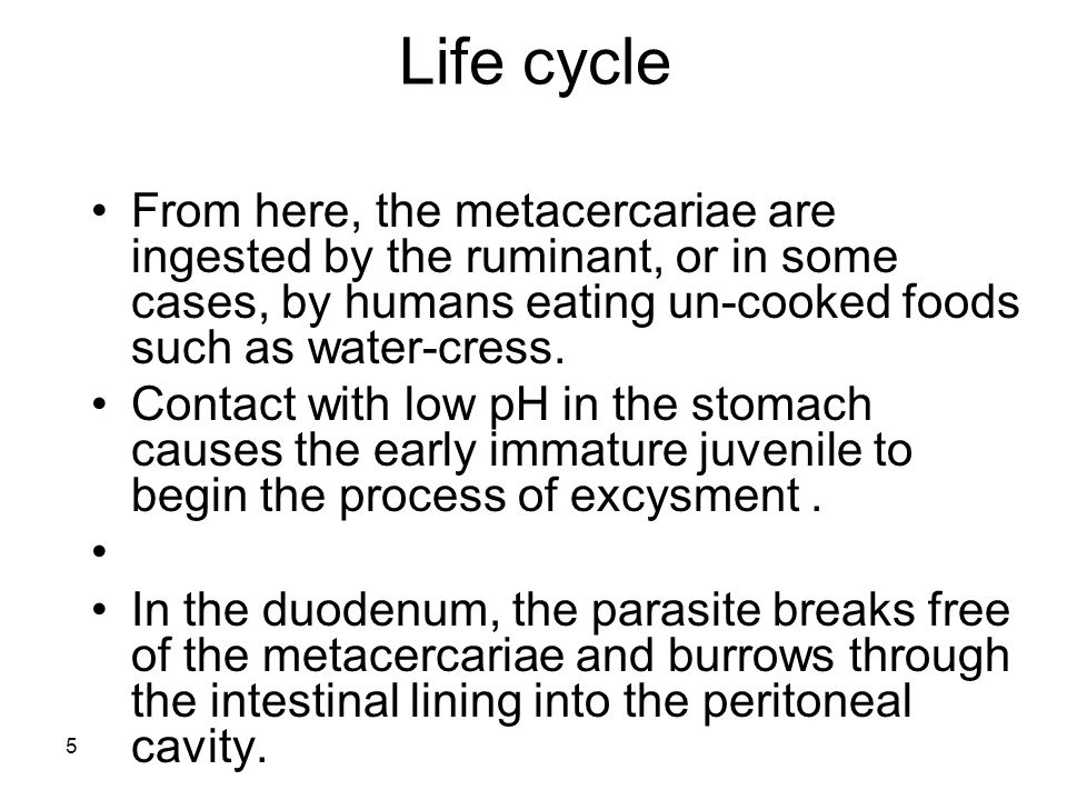 5 Life cycle From here, the metacercariae are ingested by the ruminant, or in some cases, by humans eating un-cooked foods such as water-cress. Contac