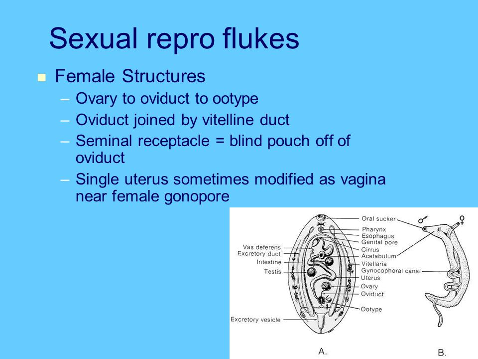 Sexual repro flukes Female Structures – –Ovary to oviduct to ootype – –Oviduct joined by vitelline duct – –Seminal receptacle = blind pouch off of ovi