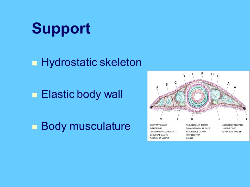 Support Hydrostatic skeleton Elastic body wall Body musculature