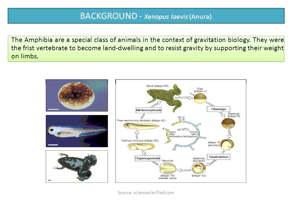 BACKGROUND - Xenopus laevis (Anura) Source: scienceclarified.com