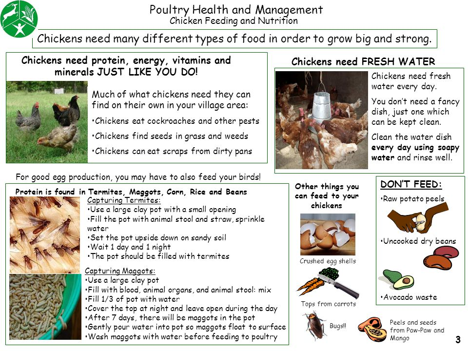 Poultry Health and Management Capturing Termites: Use a large clay pot with a small opening Fill the pot with animal stool and straw, sprinkle water S