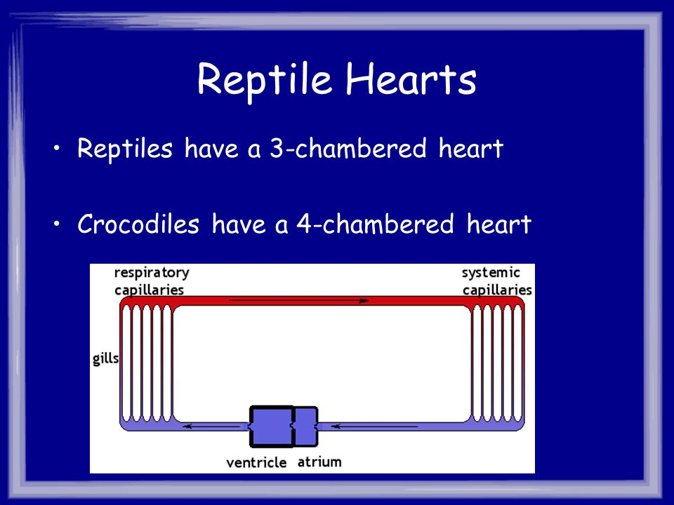 Reptile Hearts Reptiles have a 3-chambered heart Crocodiles have a 4-chambered heart