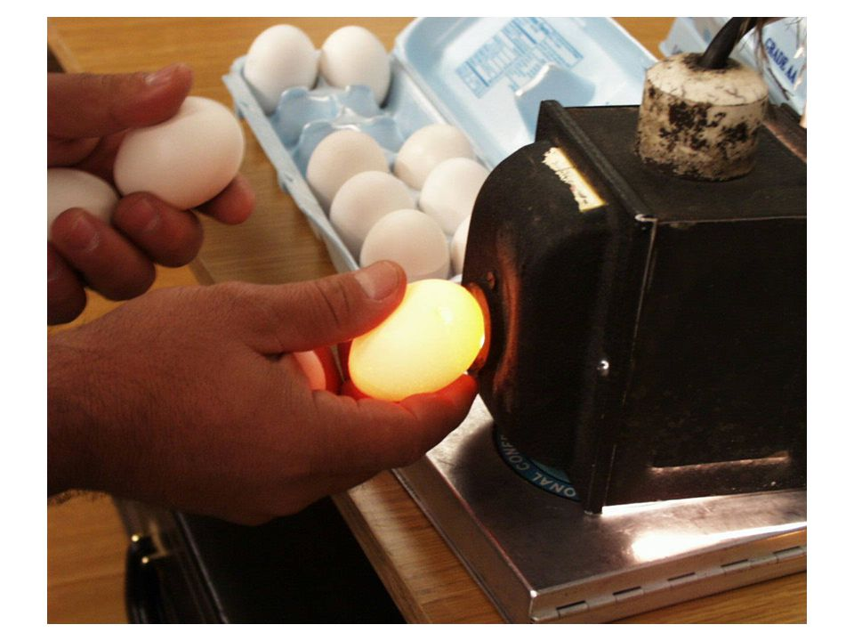 18 Candling Candling is the process of holding a strong light above or below the egg to observe the embryo.