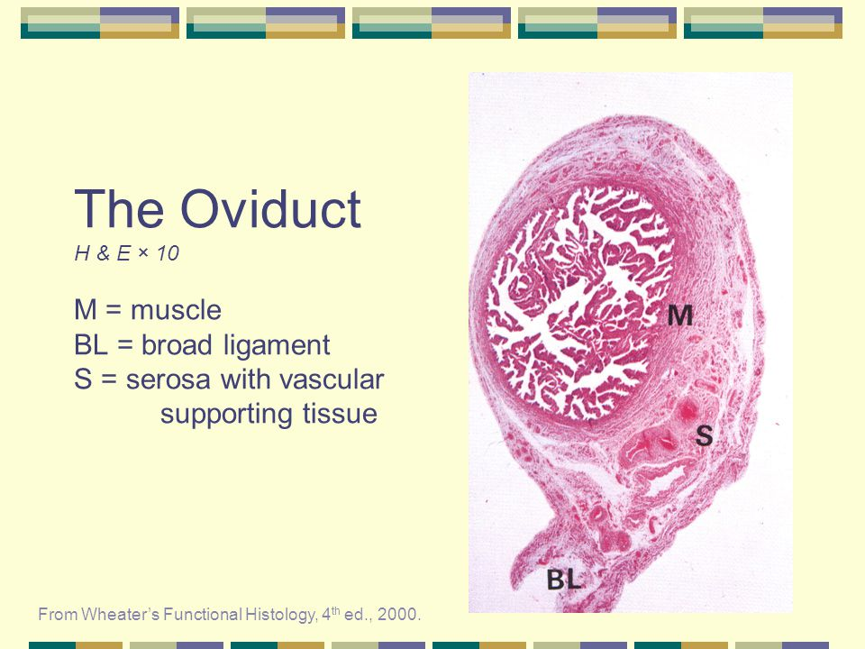 The Oviduct H & E × 10 M = muscle BL = broad ligament S = serosa with vascular supporting tissue From Wheaters Functional Histology, 4 th ed., 2000.