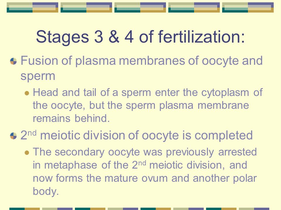 Stages 3 & 4 of fertilization: Fusion of plasma membranes of oocyte and sperm Head and tail of a sperm enter the cytoplasm of the oocyte, but the sperm plasma membrane remains behind.
