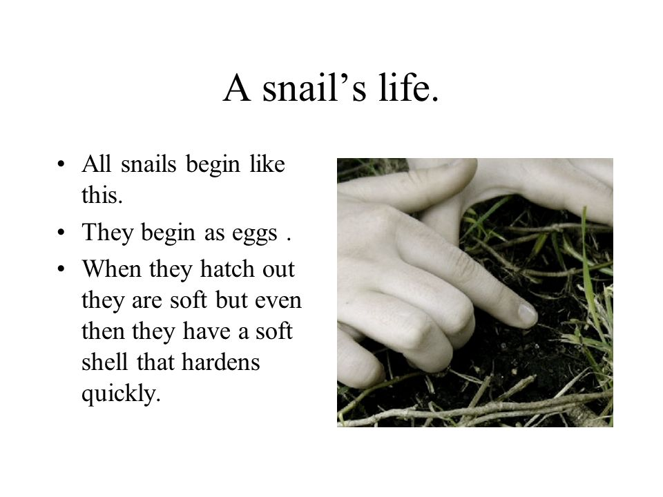 A snails life. All snails begin like this. They begin as eggs. When they hatch out they are soft but even then they have a soft shell that hardens qui