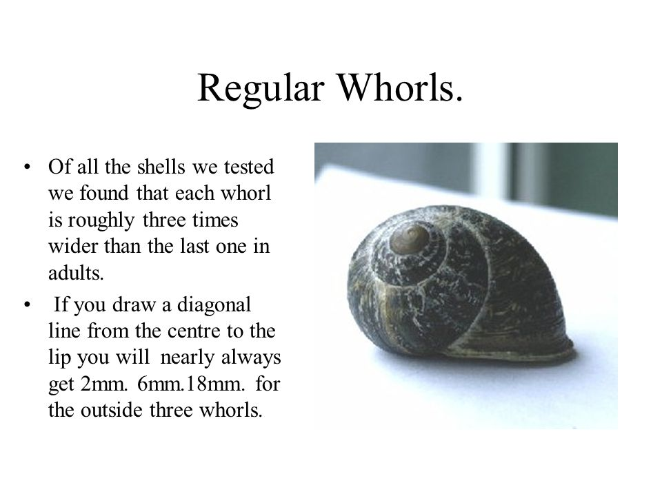 Regular Whorls. Of all the shells we tested we found that each whorl is roughly three times wider than the last one in adults. If you draw a diagonal
