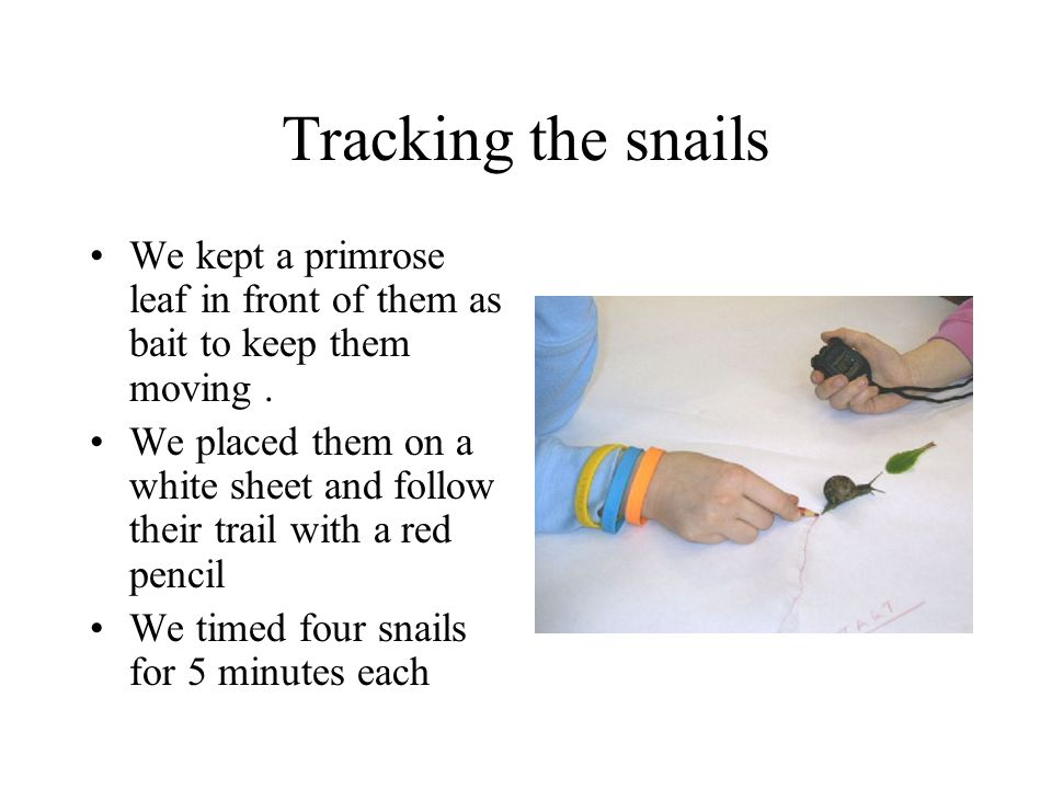 Tracking the snails We kept a primrose leaf in front of them as bait to keep them moving. We placed them on a white sheet and follow their trail with