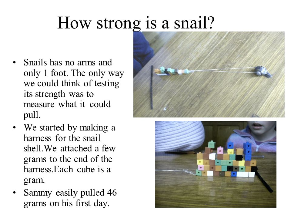 How strong is a snail? Snails has no arms and only 1 foot. The only way we could think of testing its strength was to measure what it could pull. We s