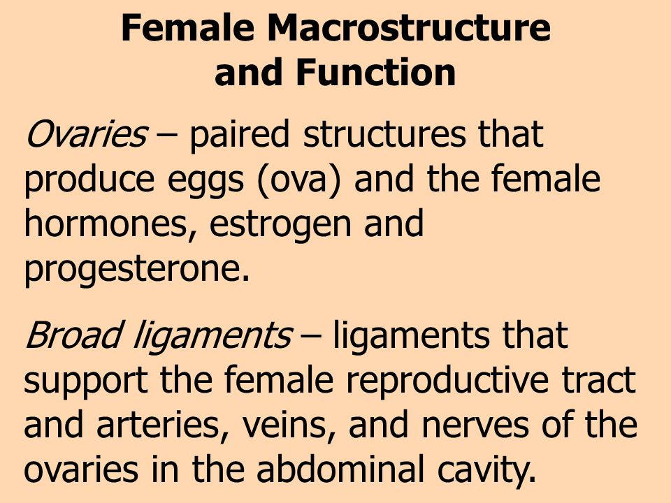 Female Macrostructure and Function Ovaries – paired structures that produce eggs (ova) and the female hormones, estrogen and progesterone. Broad ligam