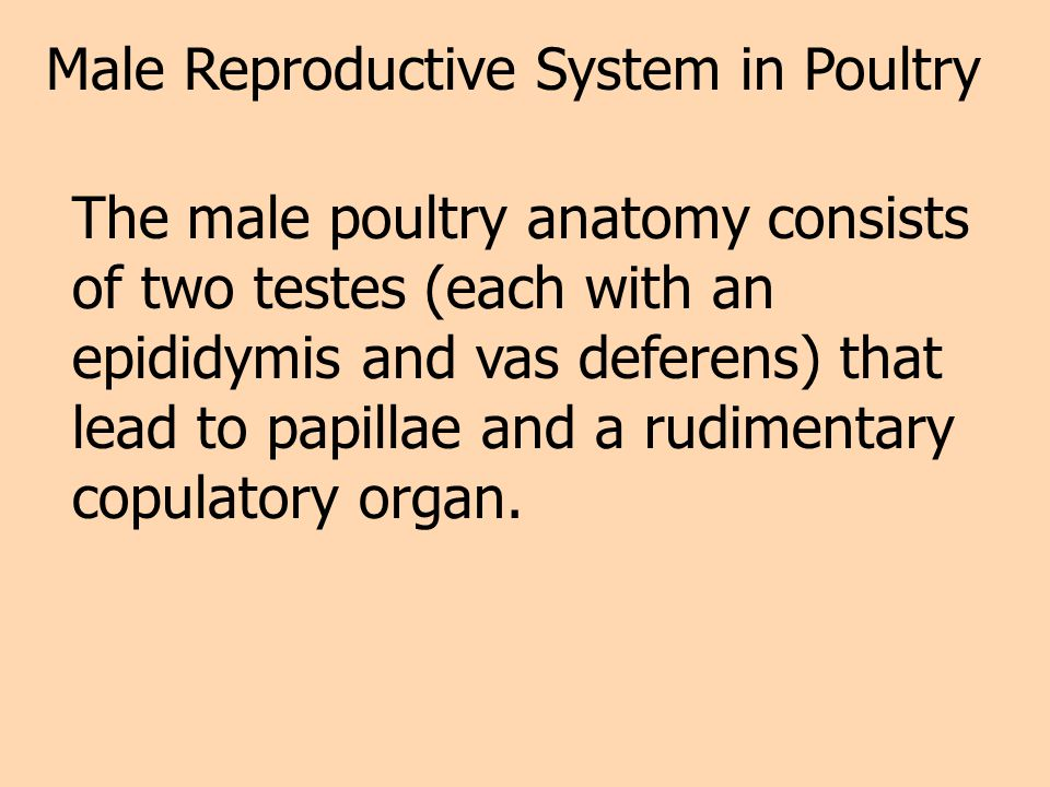 Male Reproductive System in Poultry The male poultry anatomy consists of two testes (each with an epididymis and vas deferens) that lead to papillae a
