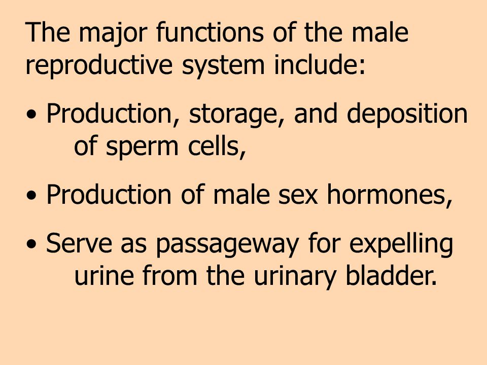 The major functions of the male reproductive system include: Production, storage, and deposition of sperm cells, Production of male sex hormones, Serv