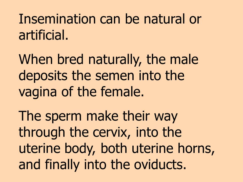 Insemination can be natural or artificial. When bred naturally, the male deposits the semen into the vagina of the female. The sperm make their way th