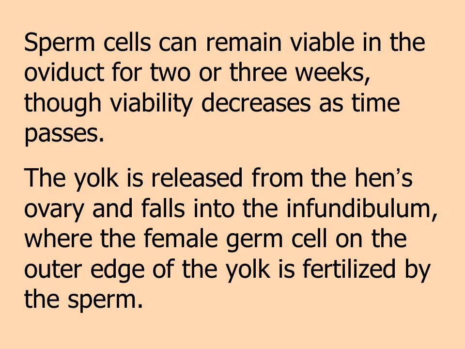 Sperm cells can remain viable in the oviduct for two or three weeks, though viability decreases as time passes. The yolk is released from the hen s ov