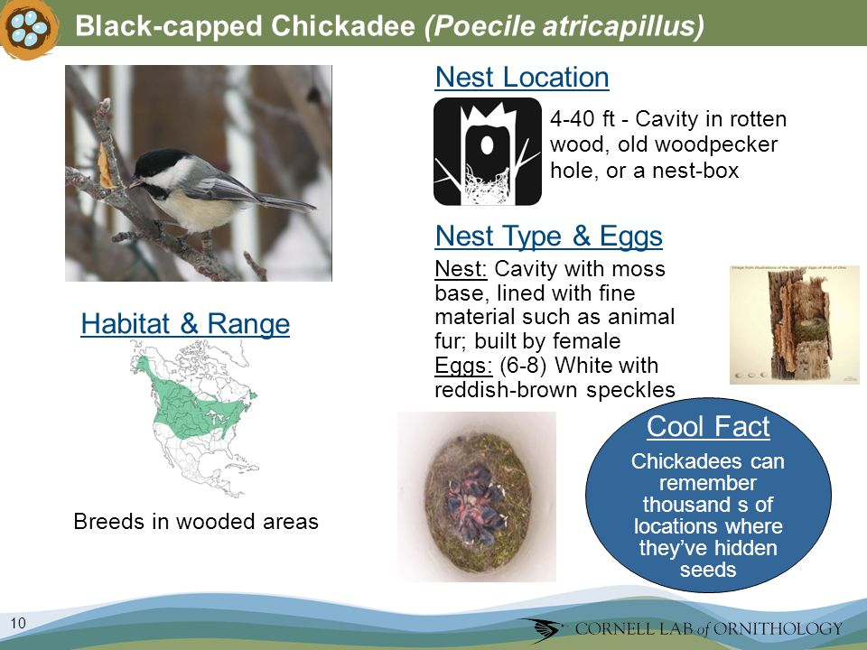 10 Black-capped Chickadee (Poecile atricapillus) Nest Type & Eggs Nest: Cavity with moss base, lined with fine material such as animal fur; built by female Eggs: (6-8) White with reddish-brown speckles Nest Location Breeds in wooded areas 4-40 ft - Cavity in rotten wood, old woodpecker hole, or a nest-box Habitat & Range Cool Fact Chickadees can remember thousand s of locations where theyve hidden seeds
