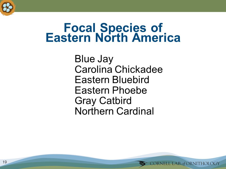 19 Focal Species of Eastern North America Blue Jay Carolina Chickadee Eastern Bluebird Eastern Phoebe Gray Catbird Northern Cardinal