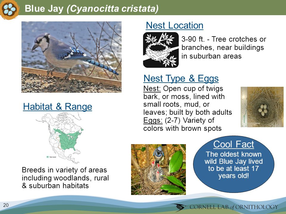 20 Blue Jay (Cyanocitta cristata) Nest Type & Eggs Nest: Open cup of twigs bark, or moss, lined with small roots, mud, or leaves; built by both adults Eggs: (2-7) Variety of colors with brown spots Nest Location Breeds in variety of areas including woodlands, rural & suburban habitats 3-90 ft.