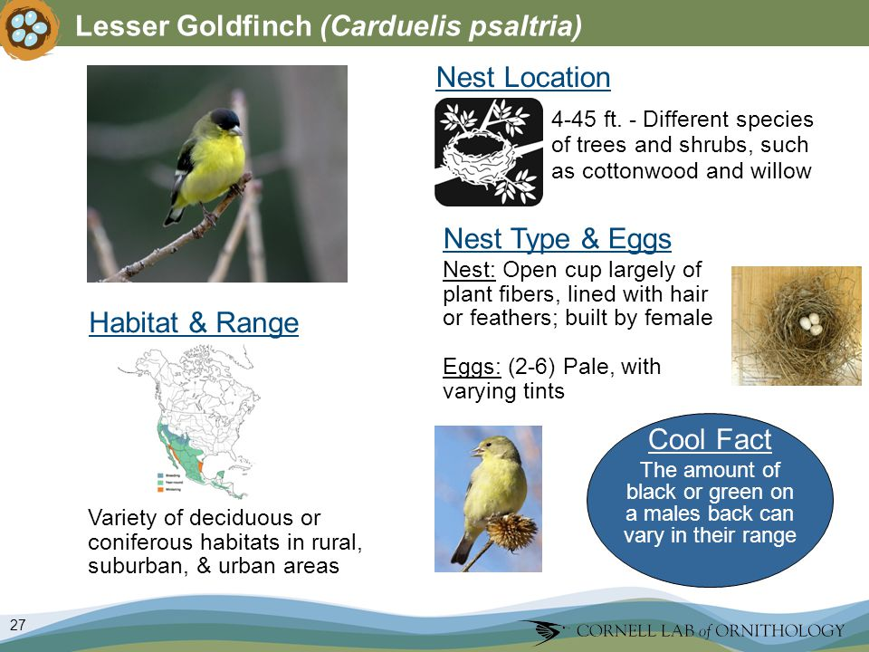 27 Lesser Goldfinch (Carduelis psaltria) Nest Type & Eggs Nest: Open cup largely of plant fibers, lined with hair or feathers; built by female Eggs: (2-6) Pale, with varying tints Nest Location Variety of deciduous or coniferous habitats in rural, suburban, & urban areas 4-45 ft.