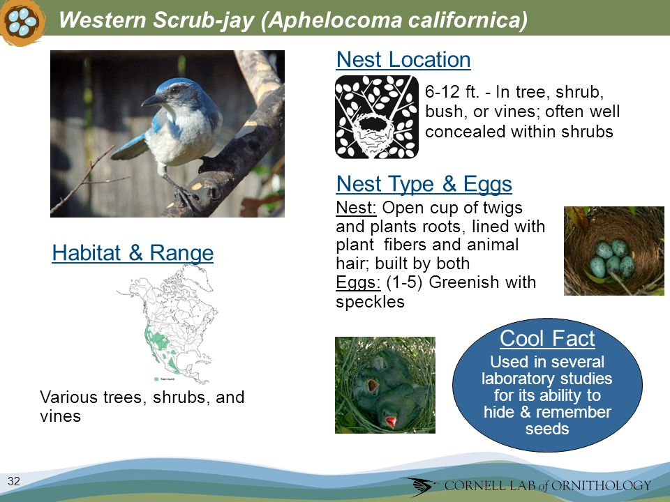 32 Western Scrub-jay (Aphelocoma californica) Nest Type & Eggs Nest: Open cup of twigs and plants roots, lined with plant fibers and animal hair; built by both Eggs: (1-5) Greenish with speckles Nest Location Various trees, shrubs, and vines 6-12 ft.