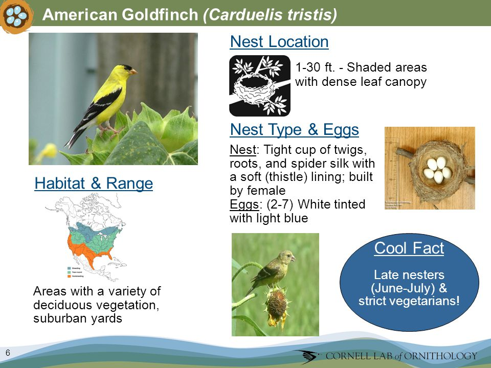 6 American Goldfinch (Carduelis tristis) Habitat & Range Nest Type & Eggs Nest: Tight cup of twigs, roots, and spider silk with a soft (thistle) lining; built by female Eggs: (2-7) White tinted with light blue Nest Location Areas with a variety of deciduous vegetation, suburban yards 1-30 ft.