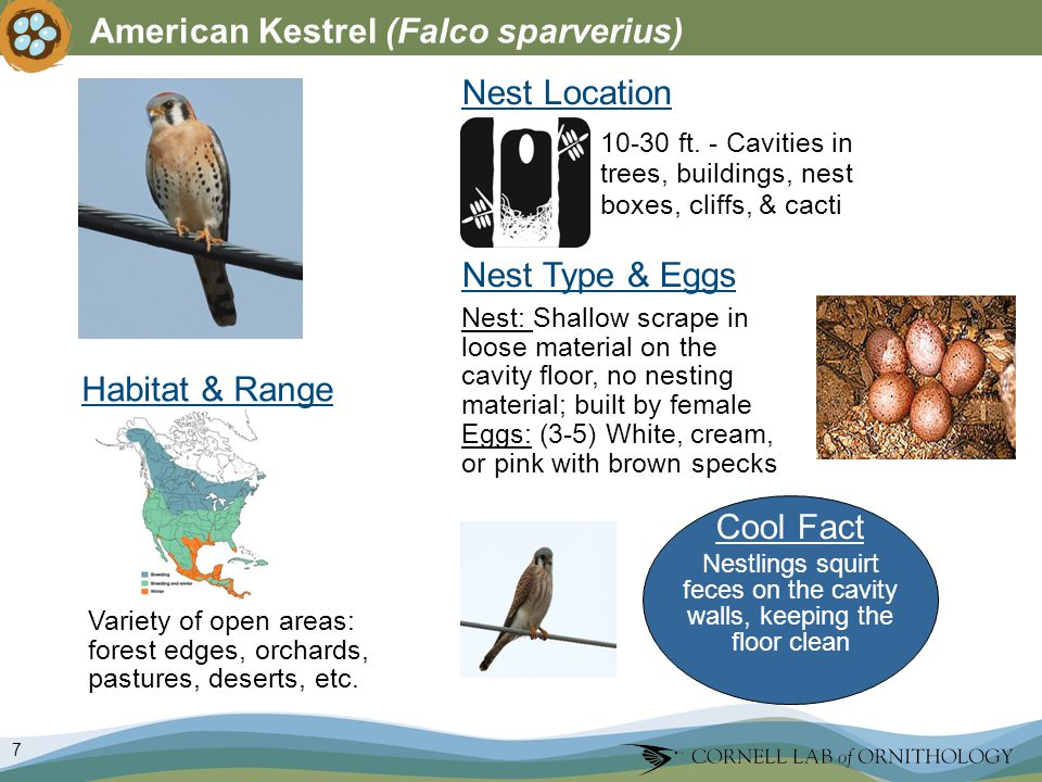 7 American Kestrel (Falco sparverius) Nest Type & Eggs Nest: Shallow scrape in loose material on the cavity floor, no nesting material; built by female Eggs: (3-5) White, cream, or pink with brown specks Nest Location Variety of open areas: forest edges, orchards, pastures, deserts, etc.