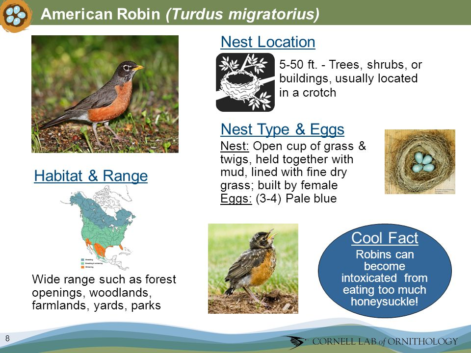 8 American Robin (Turdus migratorius) Nest Type & Eggs Nest Location Wide range such as forest openings, woodlands, farmlands, yards, parks 5-50 ft.