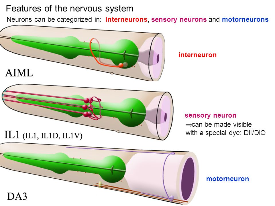 Features of the nervous system Neurons can be categorized in: interneurons, sensory neurons and motorneurons interneuron sensory neuron motorneuron can be made visible with a special dye: DiI/DiO