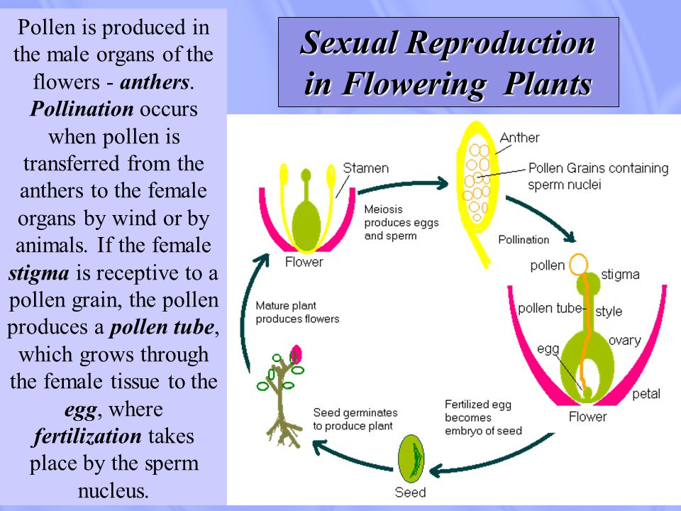 Pollen is produced in the male organs of the flowers - anthers. Pollination occurs when pollen is transferred from the anthers to the female organs by