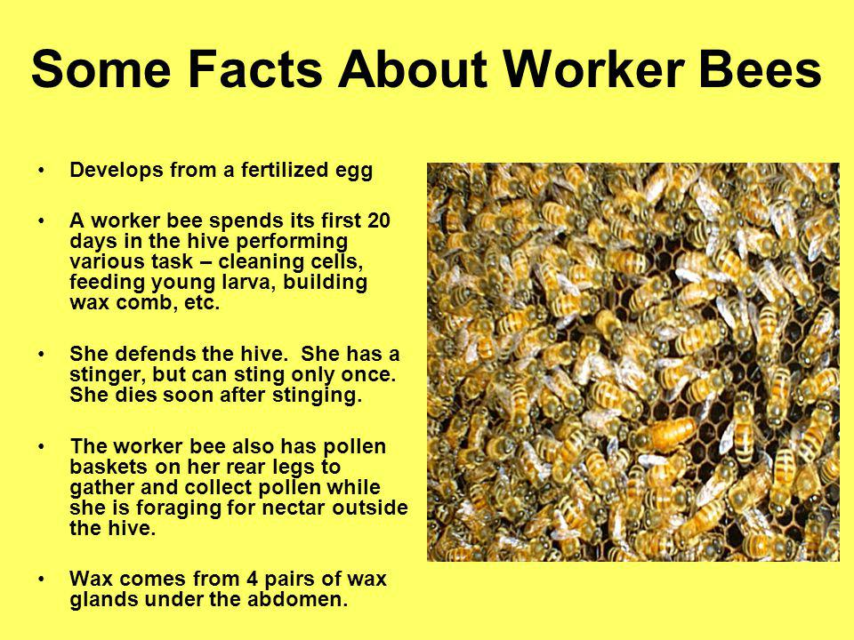 Some Facts About Worker Bees Develops from a fertilized egg A worker bee spends its first 20 days in the hive performing various task – cleaning cells