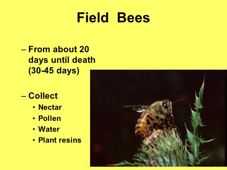 –From about 20 days until death (30-45 days) –Collect Nectar Pollen Water Plant resins M. Frazier Field Bees