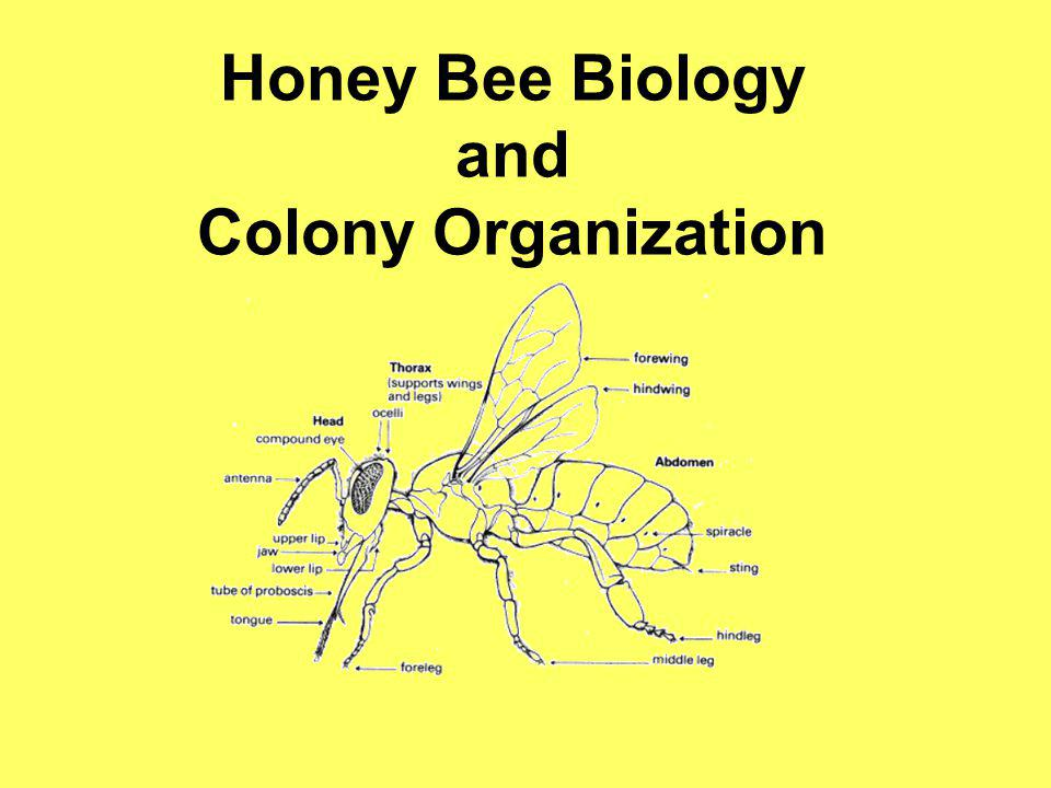 Some Facts About Worker Bees Develops from a fertilized egg A worker bee spends its first 20 days in the hive performing various task – cleaning cells, feeding young larva, building wax comb, etc.