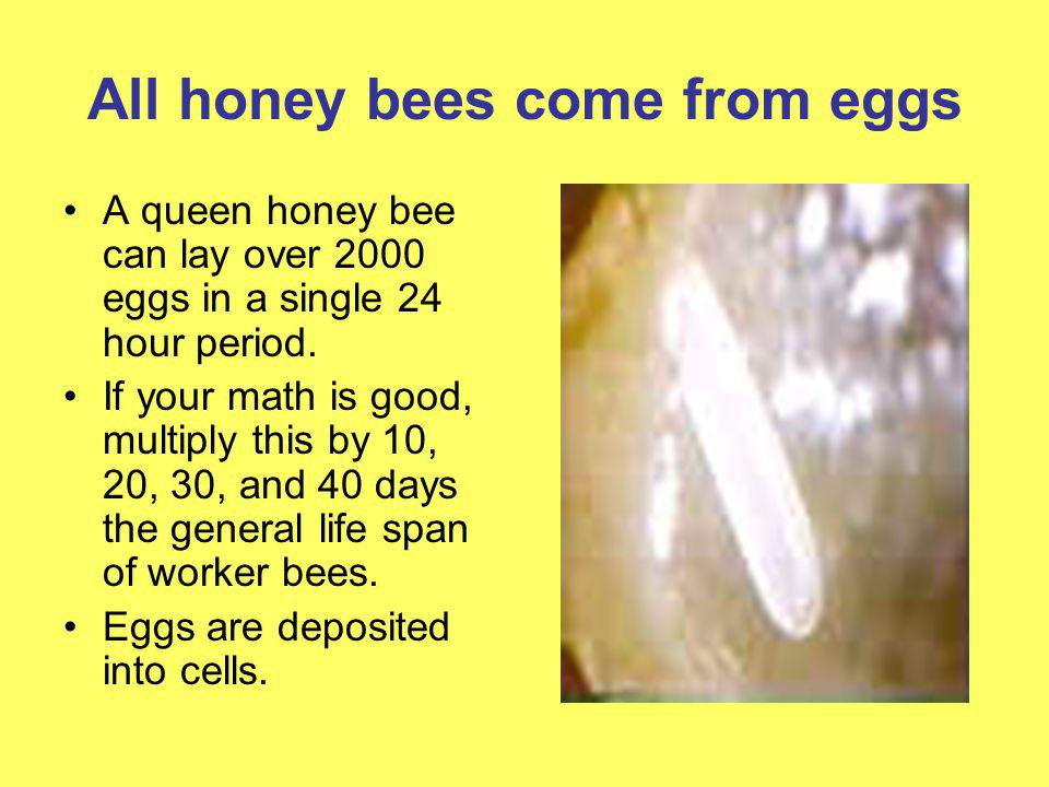 All honey bees come from eggs A queen honey bee can lay over 2000 eggs in a single 24 hour period. If your math is good, multiply this by 10, 20, 30,