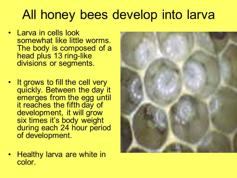 All honey bees develop into larva Larva in cells look somewhat like little worms. The body is composed of a head plus 13 ring-like divisions or segmen