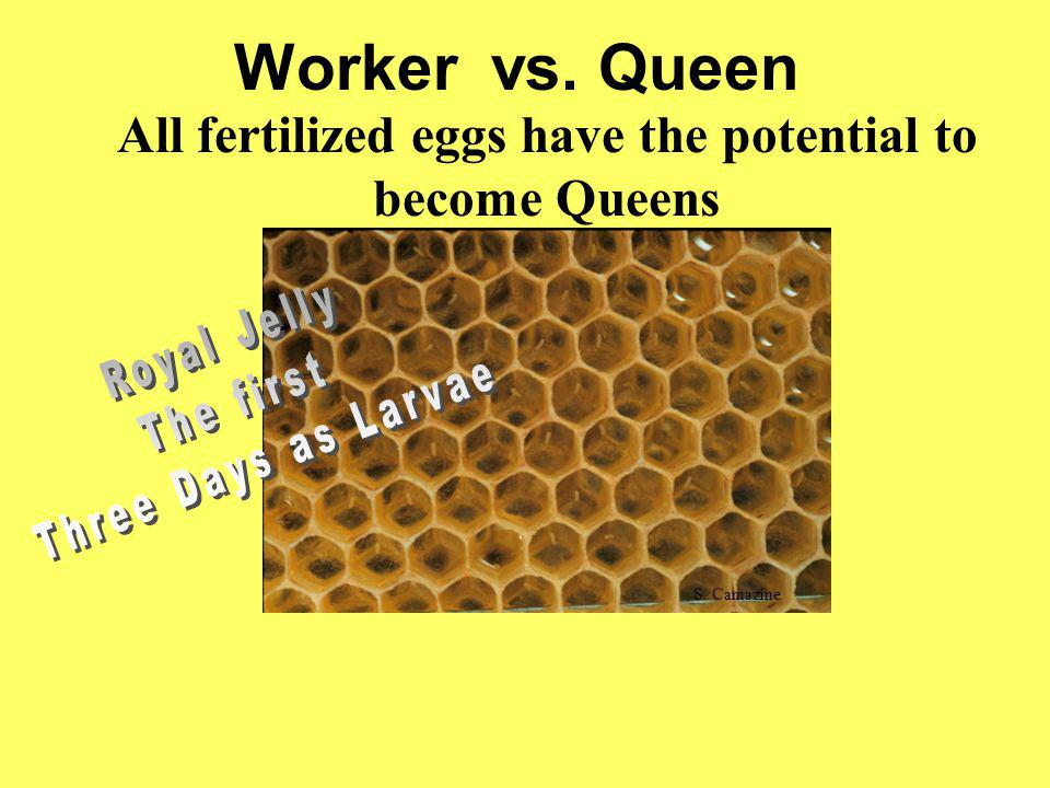 Worker vs. Queen All fertilized eggs have the potential to become Queens S. Camazine