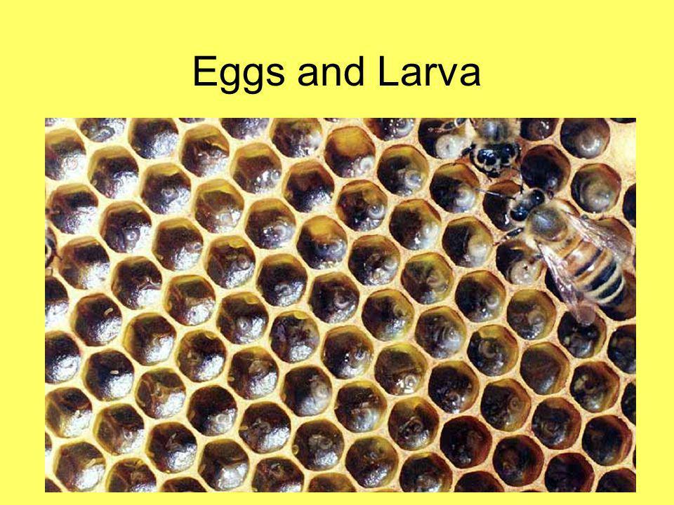Eggs and Larva