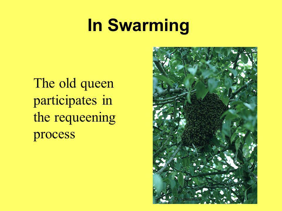In Swarming The old queen participates in the requeening process D. Sammataro