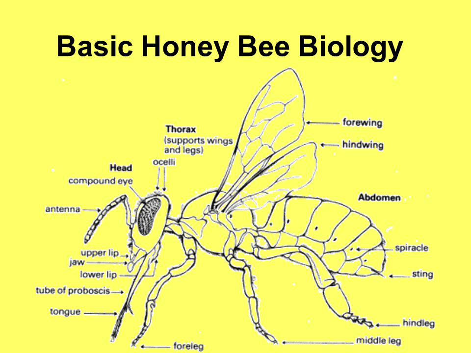 All honey bees come from eggs A queen honey bee can lay over 2000 eggs in a single 24 hour period.
