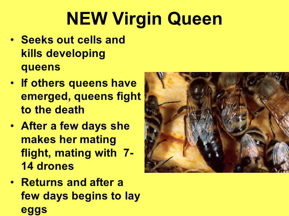 NEW Virgin Queen Seeks out cells and kills developing queens If others queens have emerged, queens fight to the death After a few days she makes her m