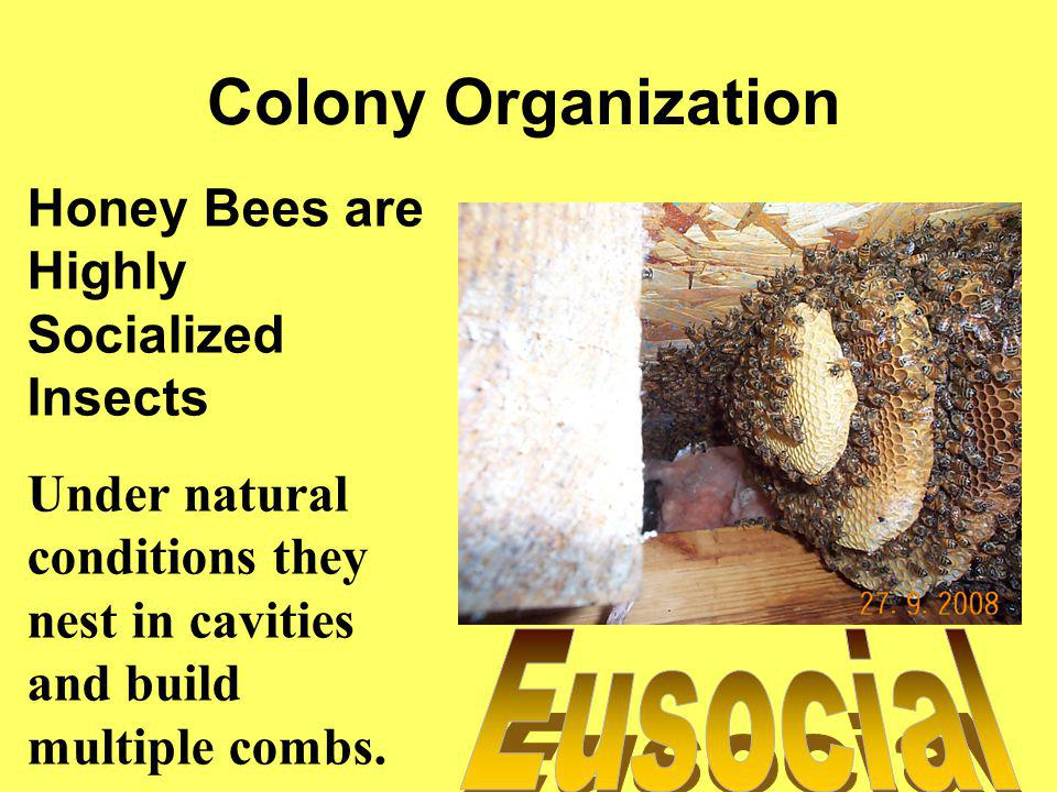 Division of Labor Among Females - Reproduction Among Workers – All the work of the hive except laying eggs Based on two things: –The age of the bee –The needs of the colony Its highly elastic
