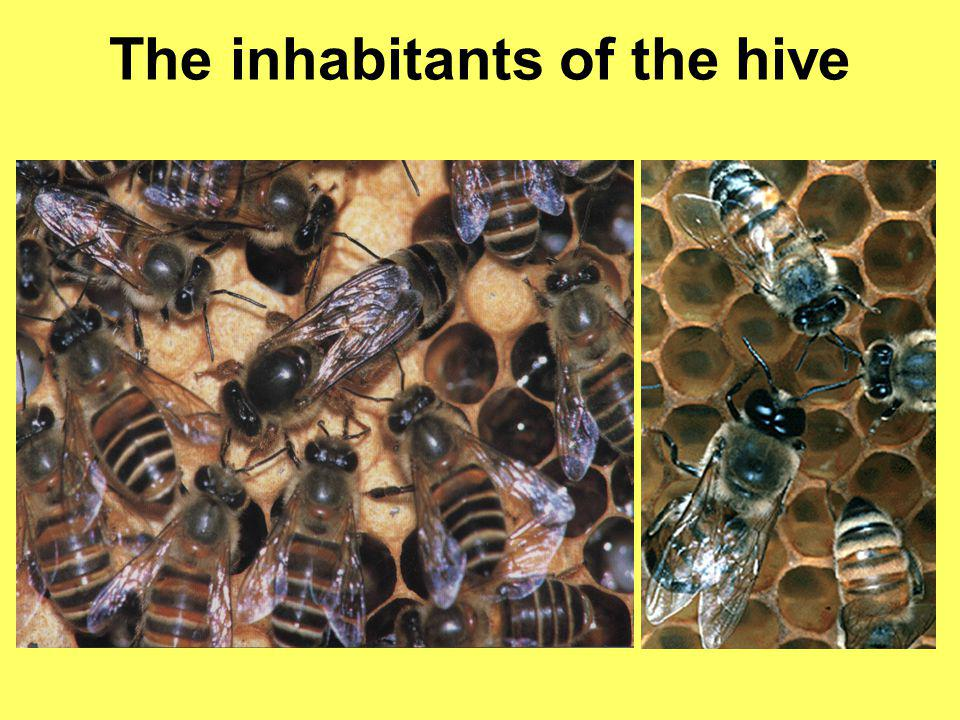 The cells of honey bees differ by caste Queen cells Worker cell Drone cells