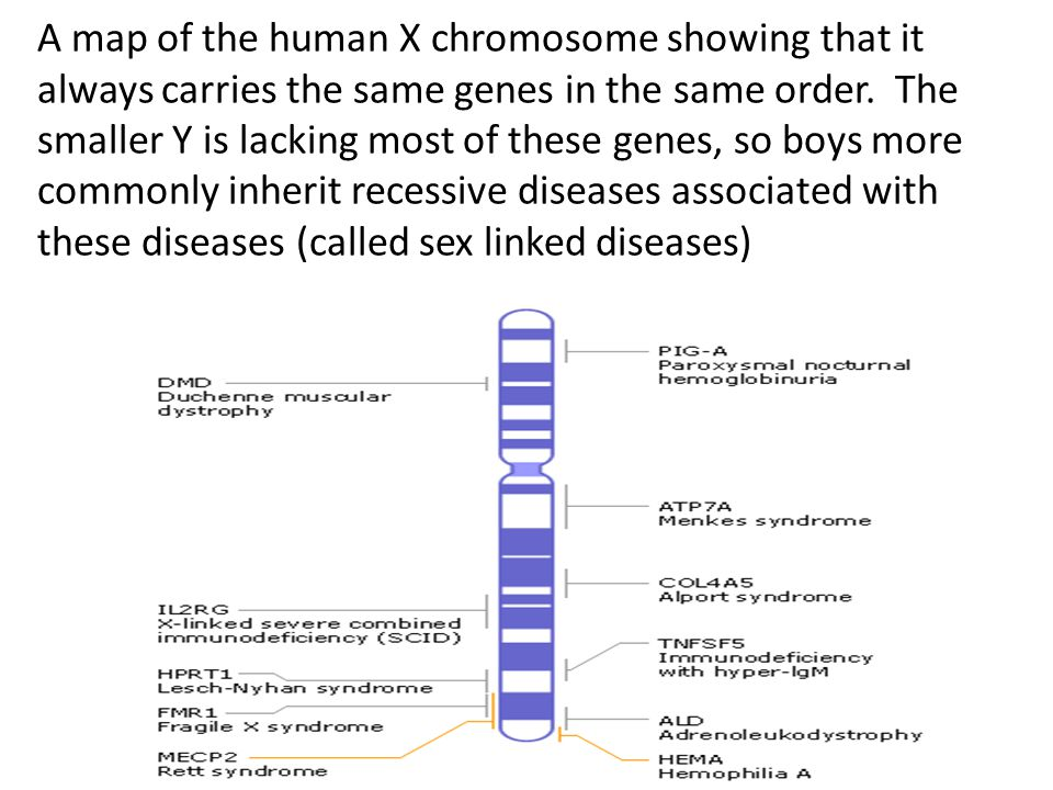 A map of the human X chromosome showing that it always carries the same genes in the same order. The smaller Y is lacking most of these genes, so boys