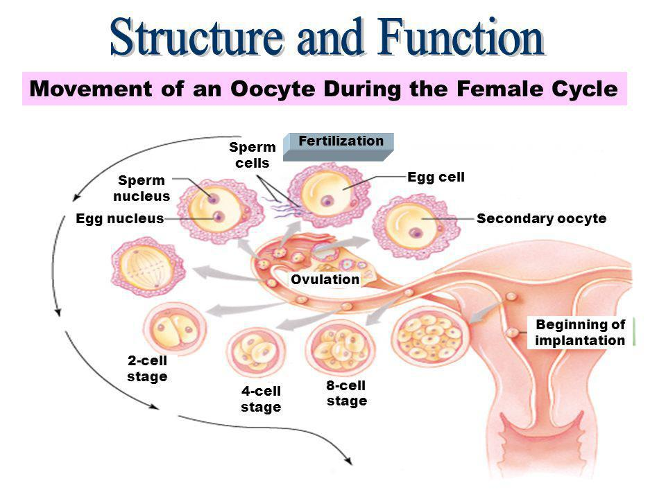 8 Uterus Consists of three parts -Upper portion fundus -Middle portion body -Lower portion cervix Consists of three layers -Outer layer (perimetrium) -Middle layer (myometrium) -Inner layer (endometrium) Is about 3 inches long The ovum, fertilized or not, will end up in the uterus.